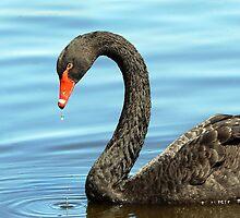 Black Swan by Marion  Cullen