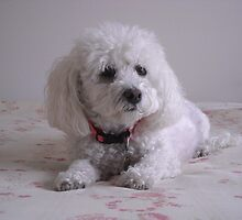 Molly the Bichon Frise by badpup