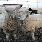 Here's Two Ewe by Judi FitzPatrick