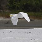 Egret in Flight by Dennis Cheeseman