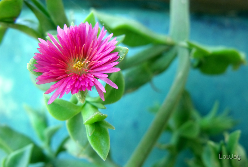 Succulent Pink by LouJay