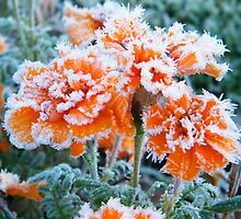Frosty Marigolds by BShirey