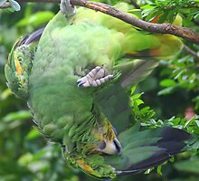 Does this parakeet know which end is up?? by Laurel Talabere