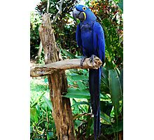 So handsome in his Dress Blues ~HYACINTH MACAW Photographic Print