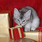 Somali kitten amongst Christmas presents by sarahnewton