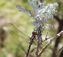 Odonata by Norman Mueller