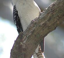 Kookaburra #2 - NSW by CasPhotography