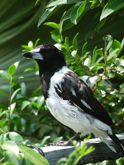 Butcher Bird by alexollier