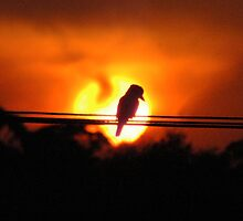 Sunburnt Kookaburra - NSW by CasPhotography