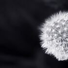 Dandelion by Man kit Wong