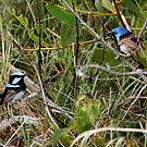 Fairywren face off. by Normf