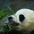 Panda snack by Dave Parrish