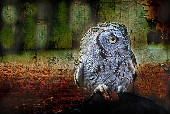 Western Screech Owl by Barbara Manis