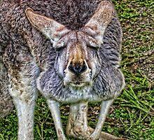 Kangaroo close up by Ausgirl60
