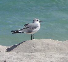 Florida Beach Seagull by aquamotion