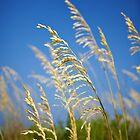 florida beaches- sea oats 1 by nolenphotograph