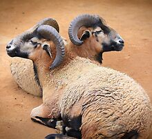 Barbados Rams by Anne McKinnell