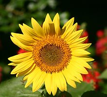 Sunflower in the Summer  by Margie Peters