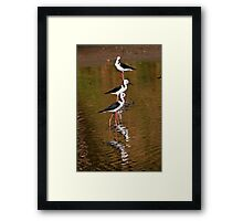 Black-Winged Stilts Framed Print
