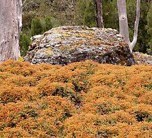 Alpine Coral Fern, Cradle Mountain,Tasmania,Australia. by kaysharp