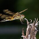 A halloween pennant dragonfly. by William Brennan