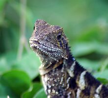 Eastern Water Dragon – NSW by CasPhotography