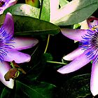 Two passionflowers by Pasi5