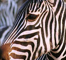 Zebra, Chobe National Park, Botswana Africa by Bernadette Ulbrich-Hooper