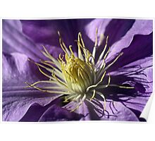 Clematis heart Poster