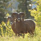 Bighorn Sheep by Jeff Ashworth & Pat DeLeenheer