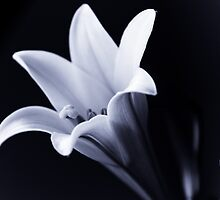 Lily in Black and White by Edward Myers