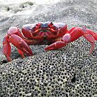 Red Crab - Christmas Island by abbycat