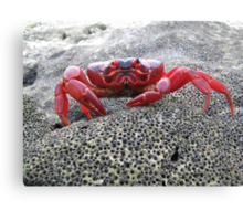 Red Crab - Christmas Island Canvas Print