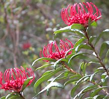 Three Waratahs,King Billy Walk,Cradle Mountain,Tasmania,Australia. by kaysharp