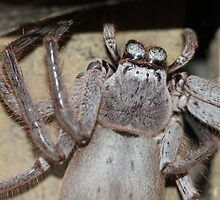 Huge Huntsman Spider by Jacqui Fae
