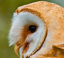 Barn Owl calling  by Dave  Knowles