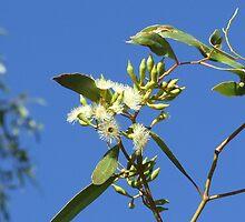 Yapunyah Flower - Quilpie, QLD by Caroline Crawford