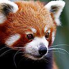 Curious Red Panda by JulieM