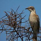 Galapagos Mockingbird by citrineblue