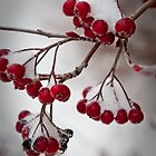 Snowberries! by Yvonne Roberts