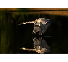0617091 Great Blue Heron Photographic Print