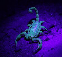 Scorpion Under UV Light by Catherine Whitehead