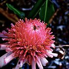 Pink Torch Ginger - Cairns Botanical Gardens by Anthony Wratten
