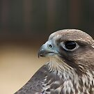 saker falcon by AngiNelson