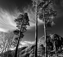 Thirlmere Trees by David Robinson