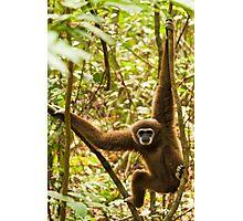 Male Lar Gibbon Photographic Print