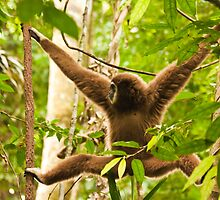 White-handed Gibbon by Nickolay Stanev