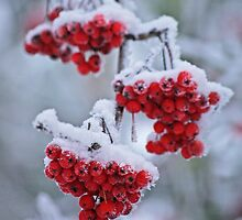 Frozen rowanberries by Paola Svensson