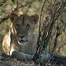 Lion - 1 by Paulo van Breugel