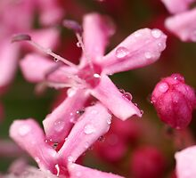 Pink by Nik Watt